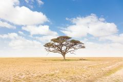 Odludny akacjowy drzewo w Afrykańskiej savana równinie w Kenja Obraz Royalty Free