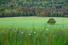 Odludny cisawy drzewo z biaÅ'ym kwiatem na Å'Ä…ce z ciemnym lasem w tle, Krajobraz od Czeskiej natury Smyczkowy czas zdjęcia stock