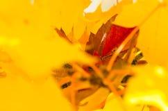 Odludny Czerwony liść Osadzający Wśród Złotych liści klonowych jesień Obraz Stock