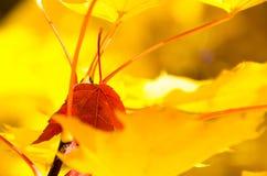 Odludny Czerwony liść Osadzający Wśród Złotych liści klonowych jesień Fotografia Stock