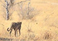 Odludny geparda odprowadzenie zdala od kamery w szeroko otwarty równiny w Hwange parku narodowym, Zimbabwe obrazy stock