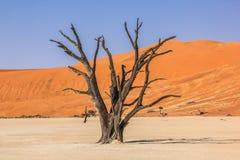 Odludny i sławny Deadvlei: susi drzewa po środku Namib pustyni Zdjęcie Royalty Free