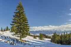 Odludny jedlinowy drzewo w zimie Fotografia Royalty Free