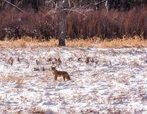 Odludny kojot w Śnieżnym polu Obraz Stock
