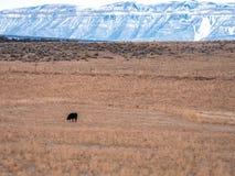 Odludny krowy pasanie w Suchym paśniku Fotografia Stock