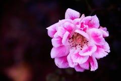 Odludny kwiat w zmroku Obraz Stock