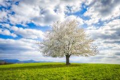 Odludny kwiatonośny czereśniowy drzewo zdjęcie royalty free