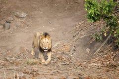 Odludny męski lew w Kruger parku narodowym Zdjęcia Royalty Free