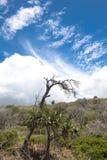 Odludny nieżywy drzewo obrazy stock