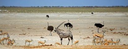 Odludny Oryx otaczający różnorodną grze przy wibrującym waterhole w Etosha parku narodowym Zdjęcia Stock