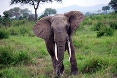 Odludny słoń Zdjęcie Royalty Free