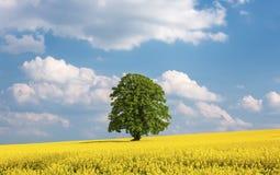 Odludny wielki drzewo w żółtym rapeseed polu Fotografia Royalty Free