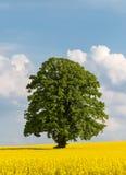 Odludny wielki drzewo w żółtym rapeseed polu Obrazy Stock