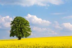 Odludny wielki drzewo w żółtym rapeseed polu Obrazy Royalty Free