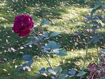 Odludny wzrastał w ogródzie w Falkensee w Niemcy zdjęcia stock