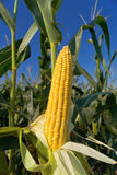 Oído del maíz del maíz en tallo en campo Foto de archivo libre de regalías