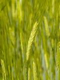 Oído inmaduro del trigo en el fondo del campo del cereal Fotos de archivo libres de regalías