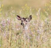 Odocoileus hemionus con coda nera dei cervi che dà una occhiata attraverso i fiori della primavera Immagini Stock