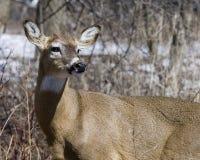 odocoileus jeleni virginianus whitetail doe Obraz Stock