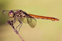 odonata крупного плана предпосылки изолированный насекомым стоковое изображение rf