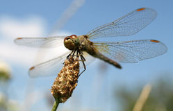 Odonata Stock Photo