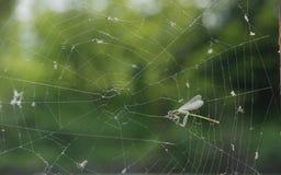 Odonata Royaltyfri Foto