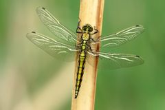 Odonata Royalty Free Stock Photography