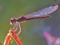Odonata Royalty-vrije Stock Fotografie