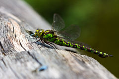 Odonata. Dragonfly on the tree. Macro photography of wildlife Royalty Free Stock Photography
