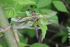 Dragonflies. Odonata is an order of carnivorous insects, encompassing the dragonflies Anisoptera and the damselflies Zygoptera. The Odonata form a clade, which royalty free stock image