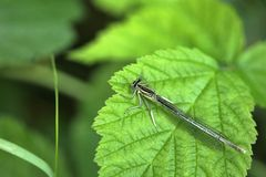 Odonata. Photographed on a sheet near the river west morava near the town of cacak serbia Royalty Free Stock Photos