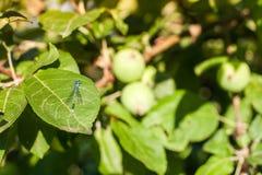 Odonata sitting on the apple tree leaf Stock Photos
