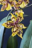 Odontocidium Wildcat Royalty Free Stock Image