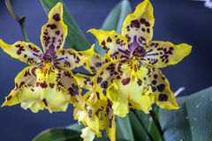 Odontocidium Wildcat Royalty Free Stock Photography