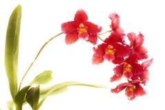 Odontoglossum blandorkidé Arkivfoton