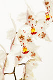 Odontoglossum crispum orchidea Zdjęcie Royalty Free