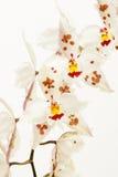 Odontoglossum-crispum Orchidee Lizenzfreies Stockfoto