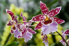 Odontoglossum, Orchid Royalty Free Stock Images