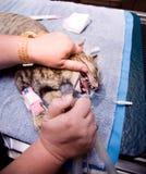 Odontoiatria veterinaria Fotografia Stock Libera da Diritti
