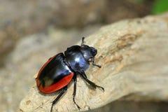 Odontolabis gazella beetle Stock Photo