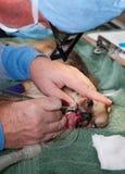 Odontología veterinaria Imagen de archivo