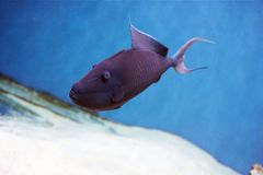 Odonus niger also known as the red-toothed triggerfish. Is a triggerfish of the tropical Indo-Pacific area, the sole member of its genus Royalty Free Stock Image