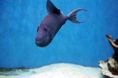 Odonus niger also known as the red-toothed triggerfish. Is a triggerfish of the tropical Indo-Pacific area, the sole member of its genus Stock Photography