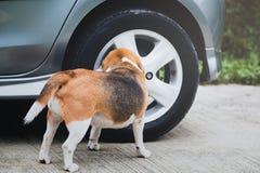 Odorare e l'indagine del cane da lepre del cane intorno alla ruota di automobile prima di pipi, l'automobile hanno avuti un odore immagine stock