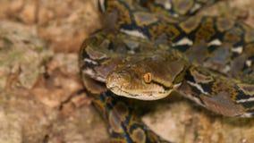 Odorare pericoloso del serpente del pitone reticolare stock footage
