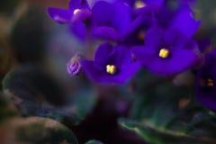 Odorata Виолы зацветая весной конец-вверх против предпосылки голубые облака field wispy неба природы зеленого цвета травы белое O Стоковое Фото