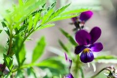 Odorata Виолы Сладостный фиолет, английский фиолет, общий фиолет, или фиолет сада зацветая весной конец-вверх Стоковая Фотография RF