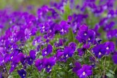 Odorata Виолы (сладостный фиолет, английский фиолет, общий фиолет, или g Стоковые Изображения