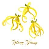 Odorata Cananga цветка иланг-иланга тропический также вектор иллюстрации притяжки corel Стоковое фото RF