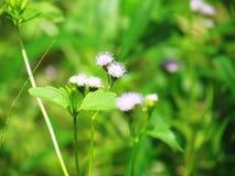 Odorata Chromolaena & x28; Общее flower& x29 зубочистки; Травы типично нашли в поле травы Селективный фокус Стоковое Фото